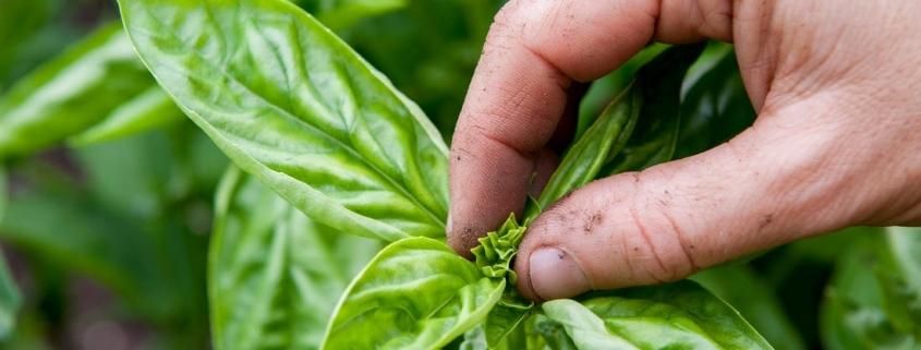 جمع آوری گیاهان دارویی - به چاشت